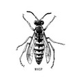 hand drawn wasp vector image vector image