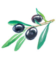 black olives watercolor vector image