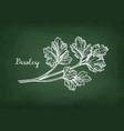 chalk sketch of parsley vector image
