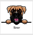 boxer - peeking dogs - breed face head isolated vector image vector image