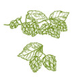 hops plant sketch for food and drinks design vector image vector image