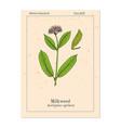 milkweed asclepias syriaca medicinal plant vector image vector image