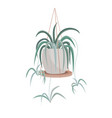 spider plant aka airplane plant spider ivy vector image