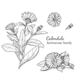 Ink calendula hand drawn sketch vector image vector image
