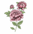 sketch bouquet of pink peonies drawn with a tablet vector image