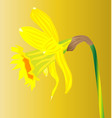 welsh daffodil for saint davids day vector image vector image