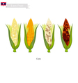 Fresh Corn A Famous Fruit in Laos vector image vector image