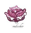 radicchio fresh culinary plant green seasoning vector image