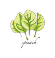 spinach fresh culinary plant green seasoning vector image vector image