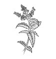 mint plant sketch engraving vector image