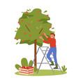 people pick apples gardener worker working vector image