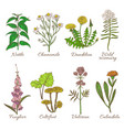 set of colored medicinal plants vector image
