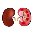 3d realistic anatomy kidney normal kidney vector image