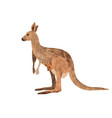 red kangaroo carrying a cute joey isolated on vector image