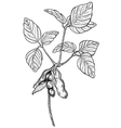 Soy twig engraving style drawing vector image