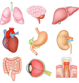 cartoon internal organs anatomy vector image vector image