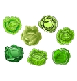 Fresh isolated green cabbage vegetables vector image vector image