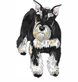 dog breed Miniature Schnauzer black and silver vector image vector image