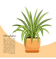 chlorofitum plant in pot banner vector image vector image