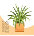 chlorofitum plant in pot banner vector image vector image
