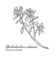 ink rhododendron adamsii hand drawn sketch vector image vector image