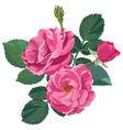 pink roses in blossom flourishing flower vector image