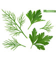 coriander leaves dill herb flavouring food 3d vector image vector image