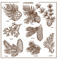 natural conifers small branches isolated vector image