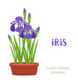 spring flowers in flower pots irises lilies of vector image vector image