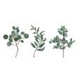 eucalyptus silver dollar vector image vector image