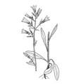 campanula praecox vector image vector image