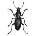 dorsal view ground beetle vintage vector image vector image