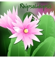 Beautiful spring flowers Rhipsalidopsis Cards or vector image vector image