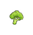 green broccoli drawing isolated on white vector image vector image