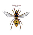 yellowjacket is about a type wasp hand draw vector image