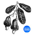 hand drawn cashew tree branch vector image vector image