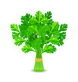parsley isolated on white vector image vector image