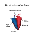 The structure of the heart Infographics vector image vector image