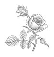 vintage drawing flower of rose vector image vector image
