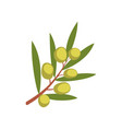 olive tree branch on a white vector image