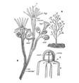 bougainvillea ramosa vintage vector image vector image