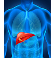 Liver caner in human body vector image
