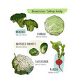 various cabbage set cabbage broccoli brussels vector image vector image