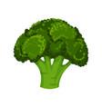 fresh green broccoli vegetarian nutrition vector image