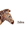 zebra isolated on white background vector image