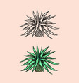 mexican blue agave plant ingredient for making vector image vector image