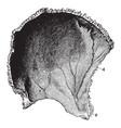 parietal bone of the human skull vintage vector image vector image