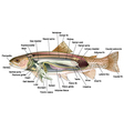 Trout anatomy vector image vector image