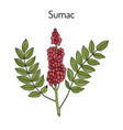 sicilian sumac rhus glabra branch with leaves and vector image vector image