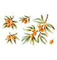 watercolor twigs with sea buckthorn berries vector image